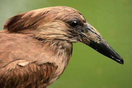 entebbe: Hammerkop Bird - Wildlife in Uganda, Africa Stock Photo