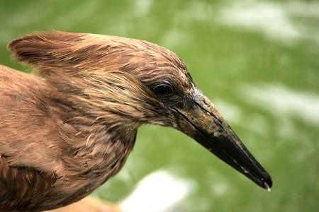 Hammerkop Bird - Wildlife in Uganda, Africa Stock Photo