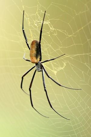 Nephila Spider - Wildlife in Uganda, Africa