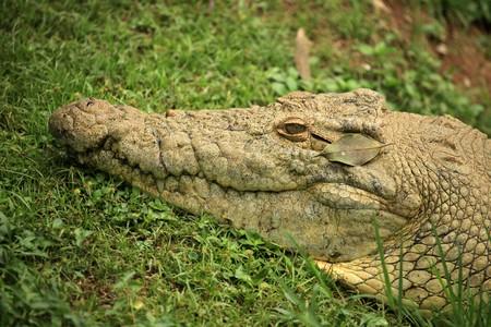 Nile Crocodille - Wildlife in Uganda, Africa photo