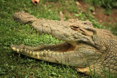 Nile Crocodille - Wildlife in Uganda, Africa