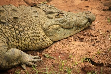 entebbe: Nile Crocodille - Wildlife in Uganda, Africa
