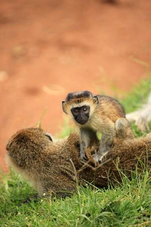 entebbe: Vervet Monkey - Wildlife in Uganda, Africa