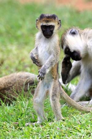 Vervet Monkey - Wildlife in Uganda, Africa