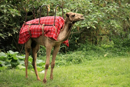 Camel - Wildlife in Uganda, Africa Stock Photo