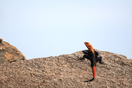 ugandan: Red Headed Agama Lizard at Abela Rock in Katakwi, Uganda - The Pearl of Africa