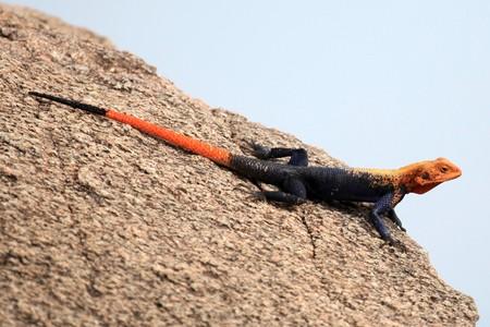 Red Headed Agama Lizard at Abela Rock in Katakwi, Uganda - The Pearl of Africa photo