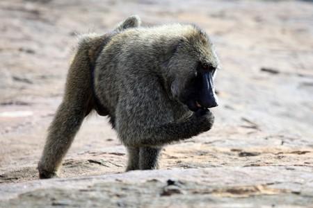 Baboon at Abela Rock in Katakwi, Uganda - The Pearl of Africa photo