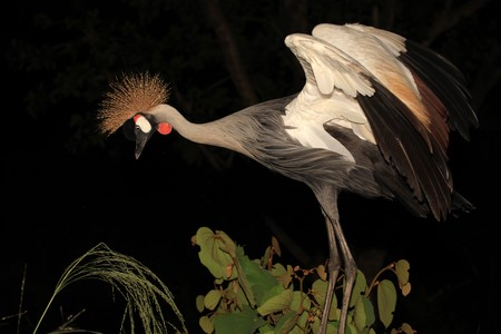Crested  Crowned Crane - The National Bird of Uganda photo
