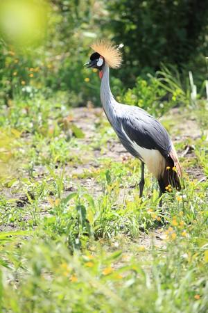 crested: Crested  Crowned Crane - The National Bird of Uganda
