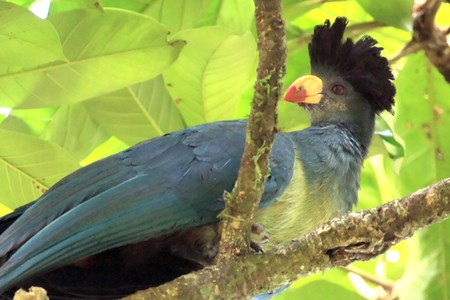 wetland conservation: Great Blue Turaco at the Bigodi Wetlands in Uganda - The Pearl of Africa