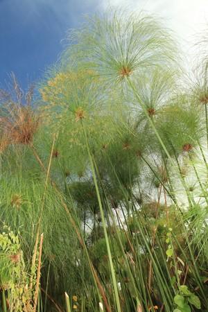 wetlands: Papyrus - Bigodi Wetlands in Uganda - The Pearl of Africa