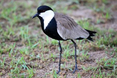 ngamba: Este ave - santuario de vida silvestre, de la reserva de caza - Uganda, �frica