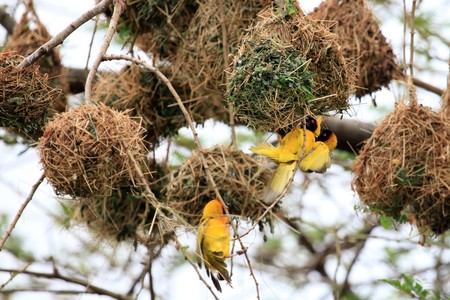 ngamba: Yellow Weaver Bird - Wildlife Sanctuary, Game Reserve - Uganda, East Africa Stock Photo