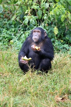 Chimpanzee Sanctuary, Game Reserve - Uganda, East Africa Stock Photo - 7210543