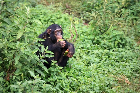 Chimpanzee Sanctuary, Game Reserve - Uganda, East Africa Stock Photo - 7210653
