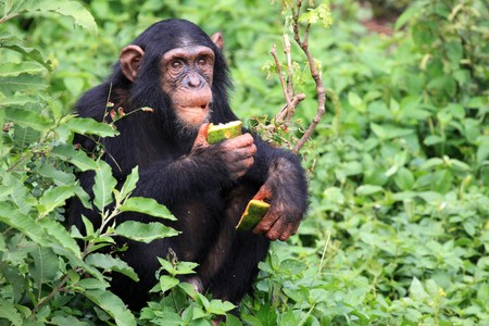 Chimpanzee Sanctuary, Game Reserve - Uganda, East Africa Stock Photo