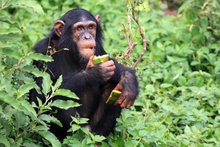 przodek: Szympans Sanctuary, Afryki Wschodniej gry rezerwy - Ugandy, Zdjęcie Seryjne