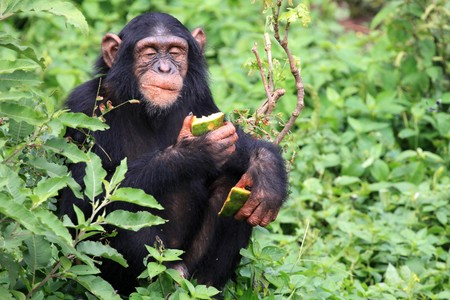 Chimpanzee Sanctuary, Game Reserve - Uganda, East Africa Stock Photo - 7211034