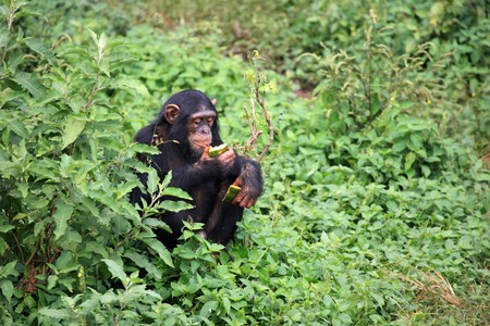 Chimpanzee Sanctuary, Game Reserve - Uganda, East Africa Stock Photo - 7207687