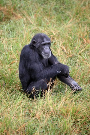 Chimpanzee Sanctuary, Game Reserve - Uganda, East Africa Stock Photo - 7210646