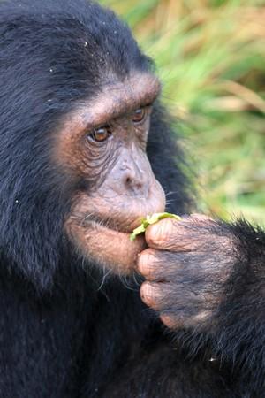 Chimpanzee Sanctuary, Game Reserve - Uganda, East Africa photo
