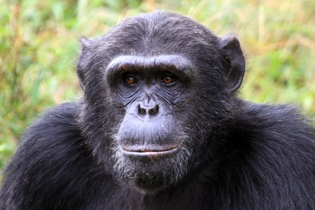 Chimpanzee Sanctuary, Game Reserve - Uganda, East Africa Stock Photo - 7211124