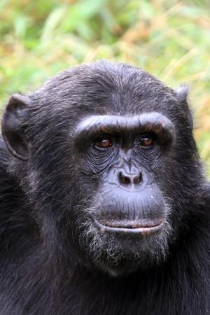 Chimpanzee Sanctuary, Game Reserve - Uganda, East Africa Stock Photo - 7211115