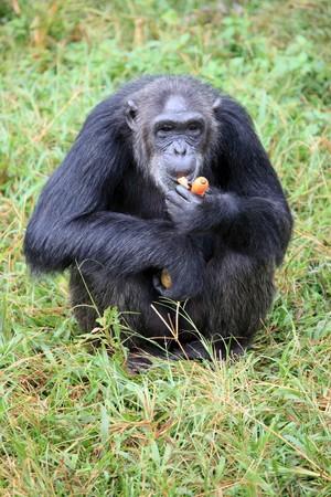 Chimpanzee Sanctuary, Game Reserve - Uganda, East Africa Stock Photo - 7210629