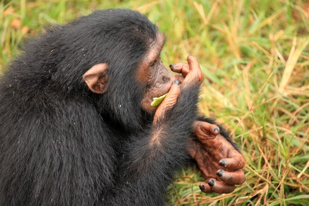 Chimpanzee Sanctuary, Game Reserve - Uganda, East Africa Stock Photo - 7210654