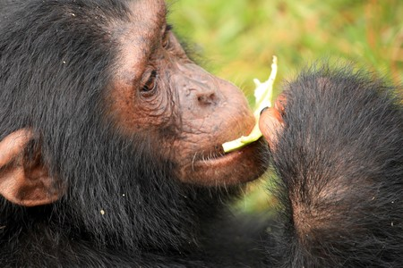 Chimpanzee Sanctuary, Game Reserve - Uganda, East Africa Stock Photo - 7210674