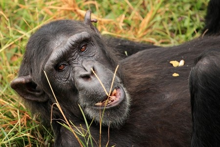 Chimpanzee Sanctuary, Game Reserve - Uganda, East Africa Stock Photo - 7211036