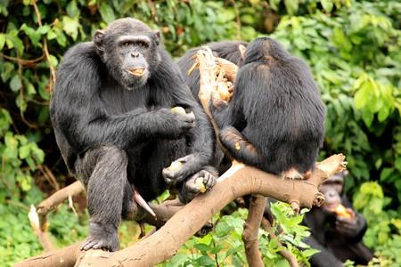 entebbe: Chimpanzee Sanctuary, Game Reserve - Uganda, East Africa Stock Photo