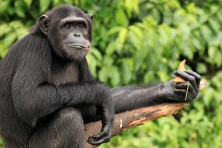 침팬지 성역, 게임 보호 구역 - 우간다, 동 아프리카 스톡 콘텐츠