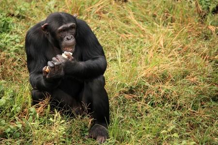 Chimpanzee Sanctuary, Game Reserve - Uganda, East Africa Stock Photo - 7210635