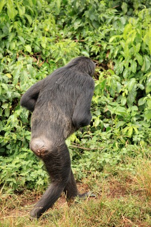 Chimpanzee Sanctuary, Game Reserve - Uganda, East Africa Stock Photo - 7210631