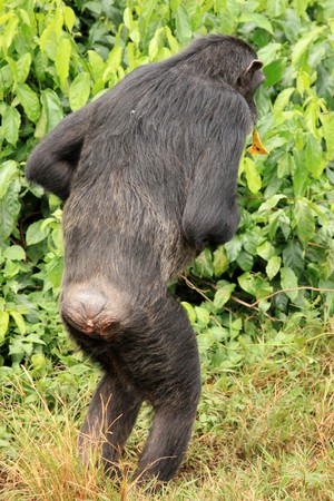 Chimpanzee Sanctuary, Game Reserve - Uganda, East Africa Stock Photo - 7210627