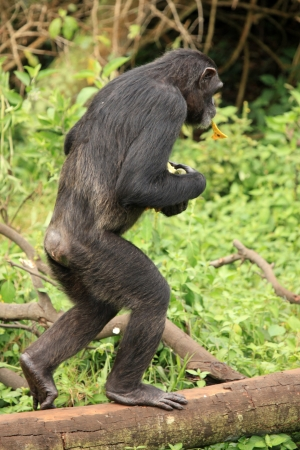 Chimpanzee Sanctuary, Game Reserve - Uganda, East Africa Stock Photo - 7210732