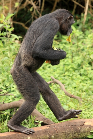 Chimpanzee Sanctuary, Game Reserve - Uganda, East Africa Stock Photo - 7211033