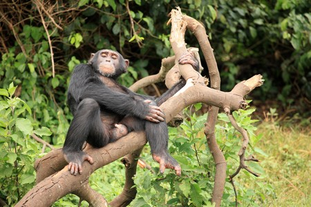 Chimpanzee Sanctuary, Game Reserve - Uganda, East Africa Stock Photo - 7210670