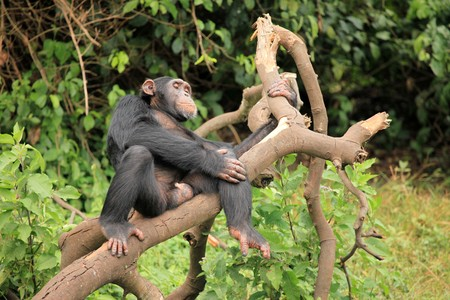 Chimpanzee Sanctuary, Game Reserve - Uganda, East Africa Stock Photo - 7210689