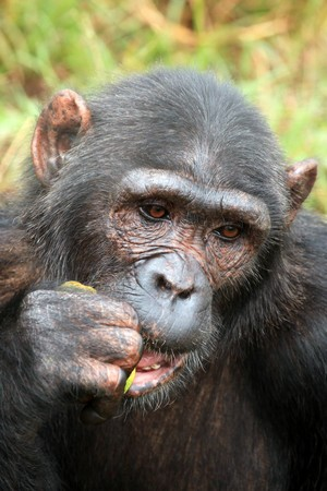 ngamba: Chimpanzee Sanctuary, Game Reserve - Uganda, East Africa Stock Photo