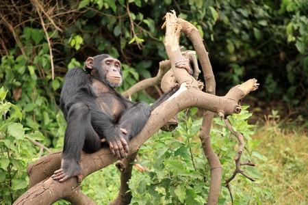 Chimpanzee Sanctuary, Game Reserve - Uganda, East Africa Stock Photo