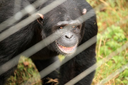 Chimpanzee Sanctuary, Game Reserve - Uganda, East Africa Stock Photo - 7211082