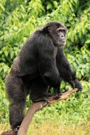 animal related: Chimpanzee Sanctuary, Game Reserve - Uganda, East Africa Stock Photo