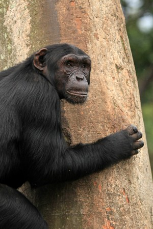 Chimpanzee Sanctuary, Game Reserve - Uganda, East Africa Stock Photo - 7211088