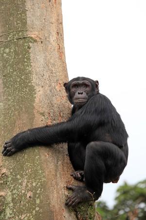 ngamba: Santuario de chimpanc�, Parque - Uganda, �frica
