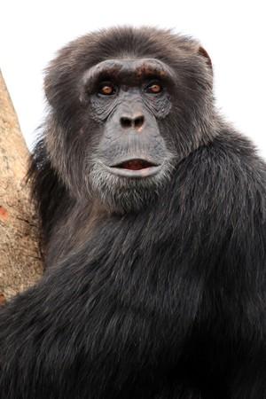 Chimpanzee Sanctuary, Game Reserve - Uganda, East Africa Stock Photo - 7211112