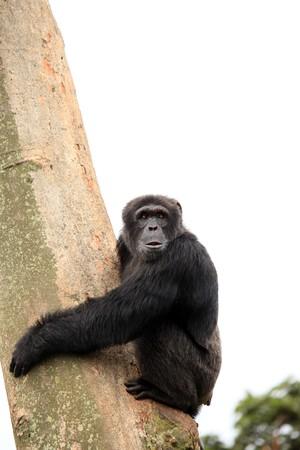 ngamba: Santuario de chimpanc�, reserva de caza - Uganda, este de �frica