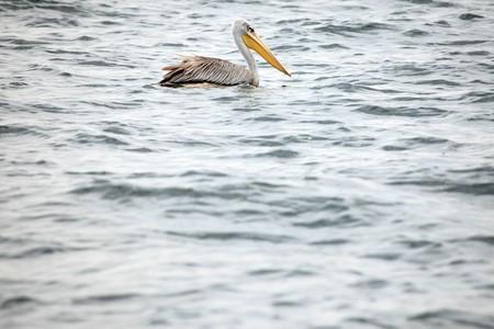 Pelican - Wildlife Sanctuary, Game Reserve - Uganda, East Africa